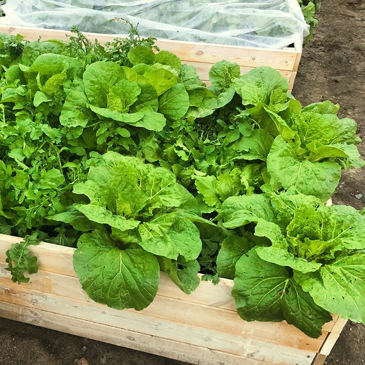 Lettuce Mixes