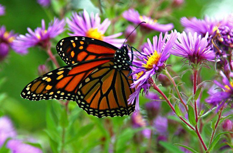 ttracts Butterflies