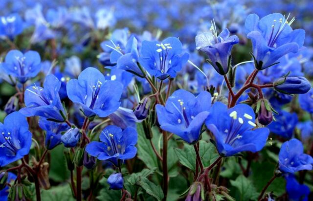 California Bluebell