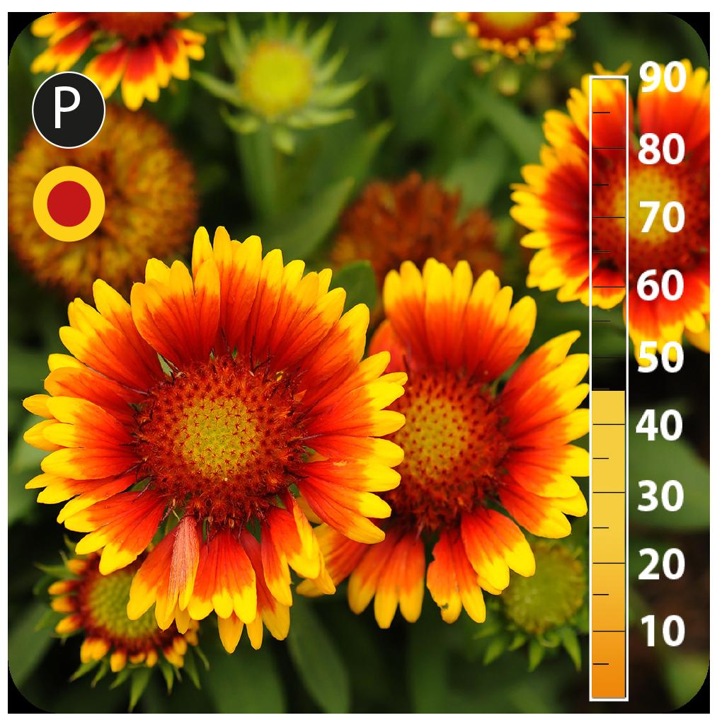 Blanketflower -Gaillardia pulchella