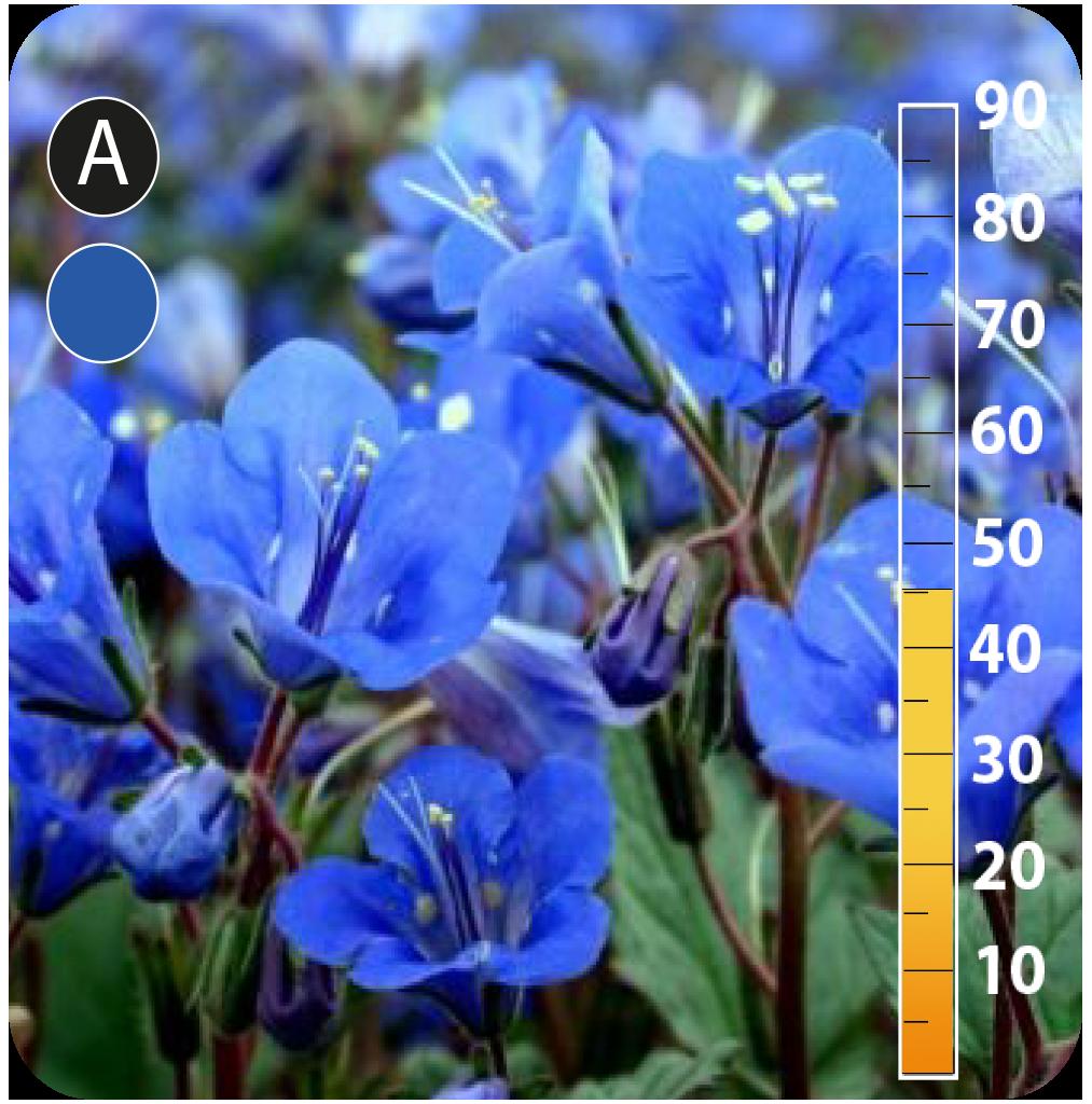 California Blue Bells - Phacelia campanularia