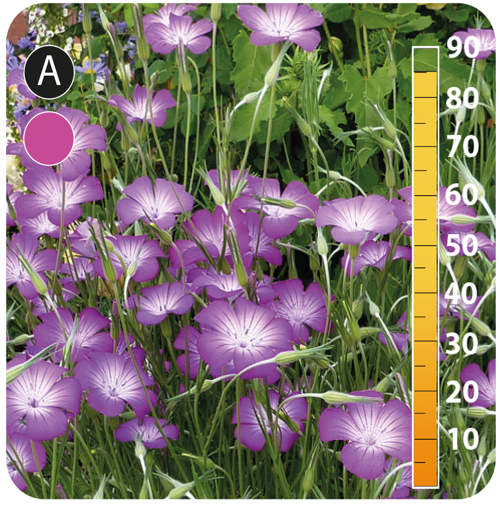 Corncockle - Agrostemma githago