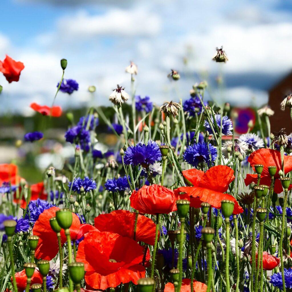 Field Flowers - Ängsblommor