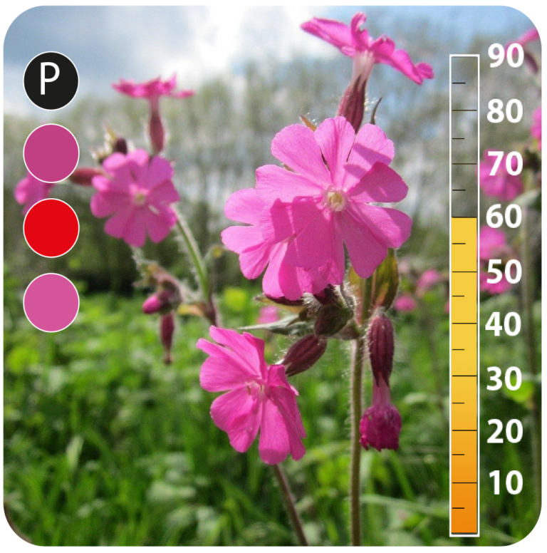 Red Campion - Red Campion -Silene Dioica