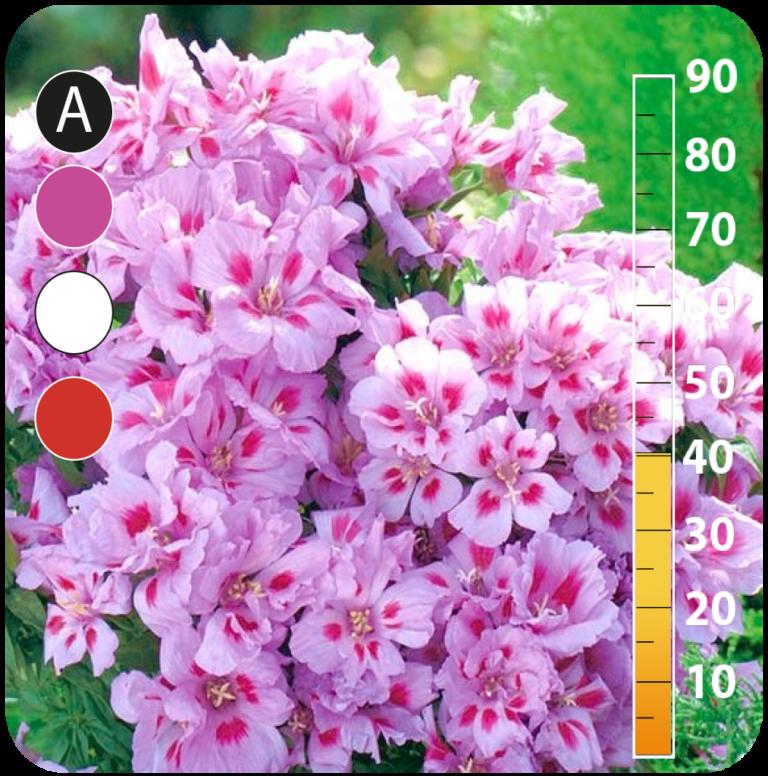 Showy Baby´s Breath - Godetia grandiflora