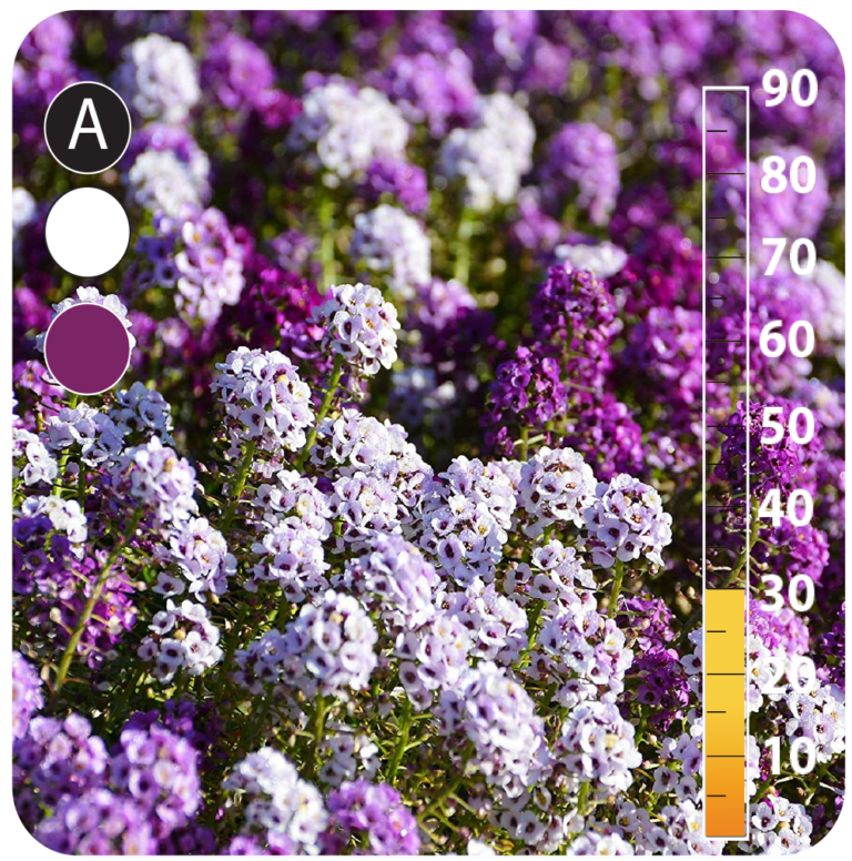 Sweet Alyssum Violet - Lobularia maritima
