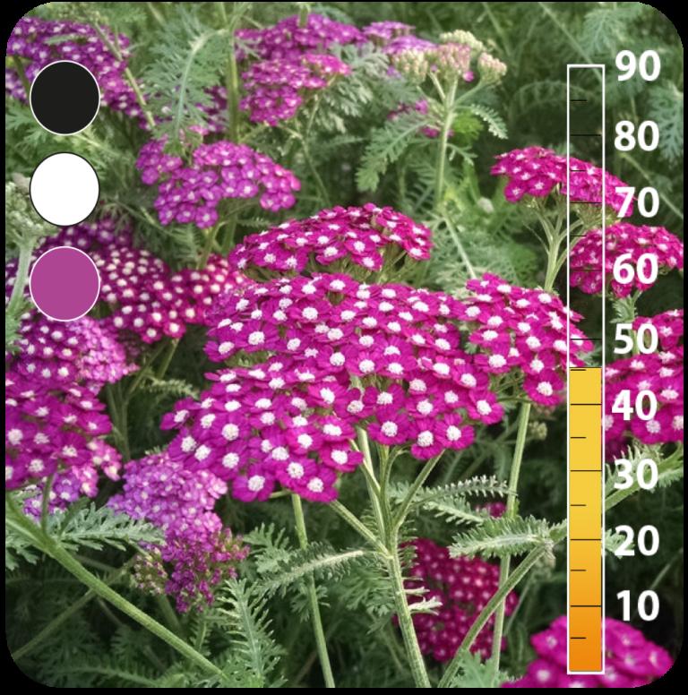 Yarrow -Achillea millefolium