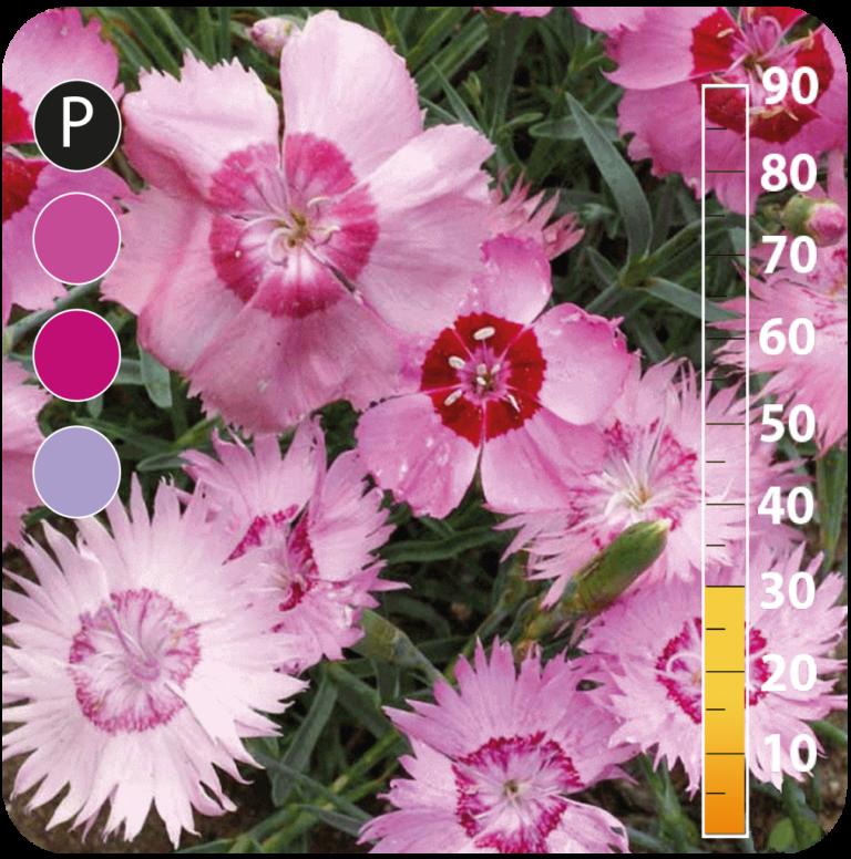 Garden pink - Dianthus plumarius