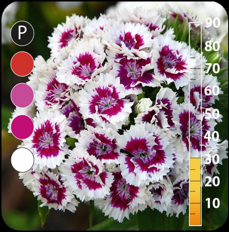 Sweet William - Dianthus barbatus